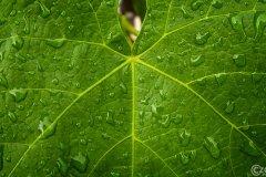 20030802-Es-Regnet-Weintraubenblat-DSCF0141