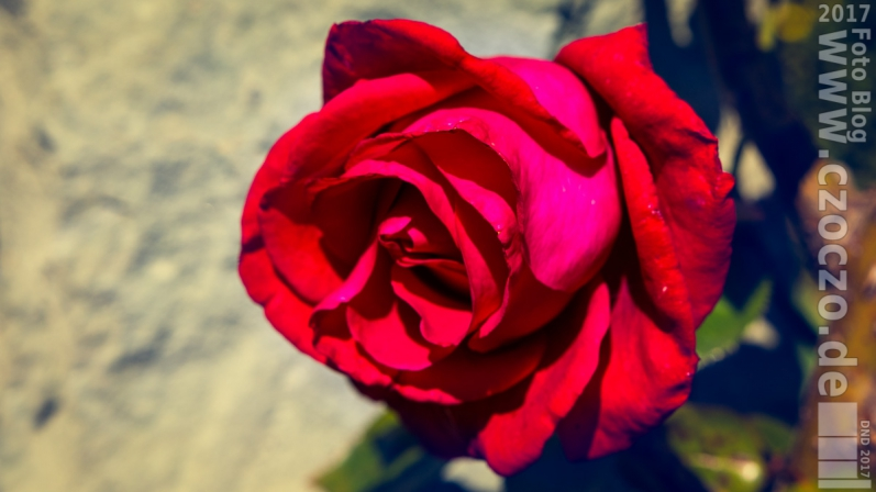 20170910-_MG_7139-Rote Rose