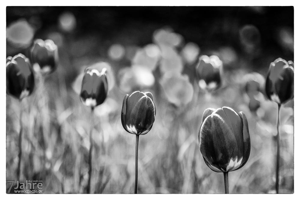 20150501-Sieben Tulpen.jpg